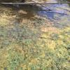 Risque lié aux cyanobactéries dans les cours d'eau